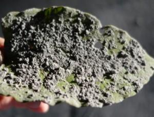 写真15.木の葉に堆積した火山灰.ゴマ粒大の火山豆石となっている.火山灰は極めて細粒.2014年9月27日.